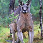 Macropus Giganteus.Eastern Grey Kangaroo by Donovan wilson