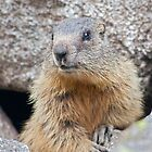 The Marmot&#x27;s Back! by Krys Bailey