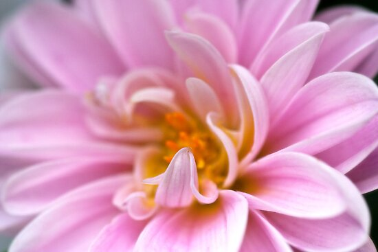 Chrysanthemum by Ellesscee