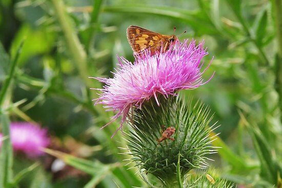 Peck's Skipper on Thistle by Ron Russell