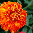 Orange Burst Flower by Christy Patino