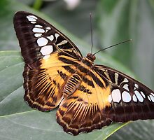 Clipper - Parthenos sylvia by Lepidoptera