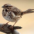 Song Sparrow by Bine