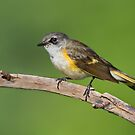 American Redstart (First Year Male). by Daniel Cadieux