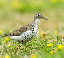 Spotted Sandpiper by Bill McMullen