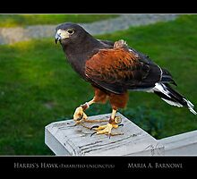 Harris's Hawk - - Posters & More by Maria A. Barnowl