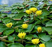 Yellow waterlilies in pond by torishaa