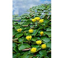 Yellow waterlilies in pond Photographic Print