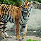 Tiger on a Rock by sanham