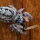 Jumping Spider ~ Dinner Time by Christy Patino