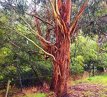I shed my bark . . . the old gum Kilmore East Victoria Australia by Margaret Morgan (Watkins)