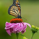 Monarch Butterfly on Cone Flower by Bill McMullen