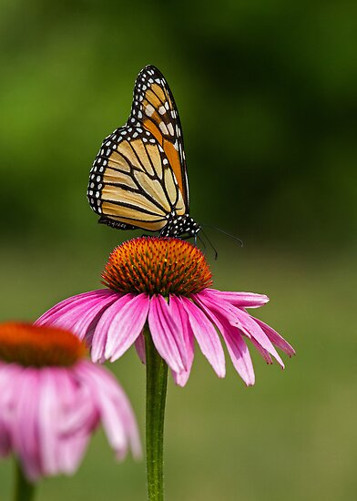 Royalty on a Cone Flower Throne  by Bill McMullen