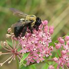 Bumblebee on Milkweed by Ron Russell