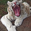 White Tiger Cub by Robyn Carter