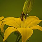 Lily after the (everpresent) rain. by naranzaria