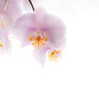 Orchid Soft by Lennox George