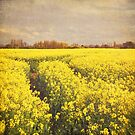 Yellow rapeseed field by Lyn  Randle