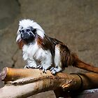 Cotton-headed Tamarin by Ray Chiarello