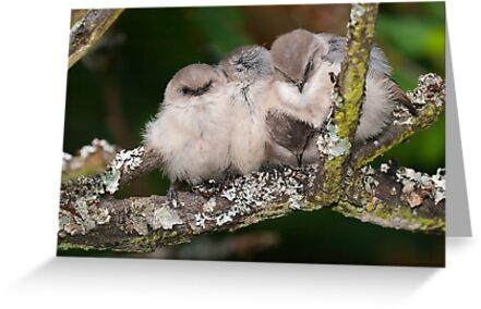 Snuggling Bushtits by Tom Talbott