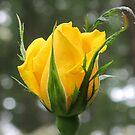 """Radiant Perfume"" Rosebud by Pat Yager"