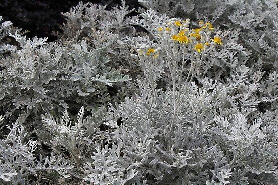 Grey Bush | grey bush cricket platycleis albopunctata