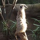 Meerkat look out by jem16