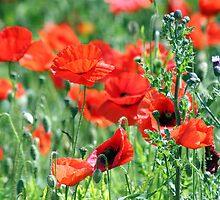 """Poppies Woldgate"" by Merice  Ewart-Marshall - LFA"