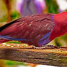 Eclectus Parrot by Phil Thomson IPA