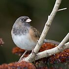 Female Dark-eyed Junco by Tom Talbott