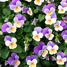 Petite pansy patch by leilagonzales