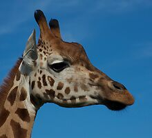 Giraffe Portrait by GP1746
