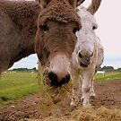 Hay... You Wanna Try Some!!! - Donkeys - NZ by AndreaEL
