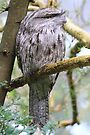 I have my eye on you  Tawny frogmouth by Donovan wilson