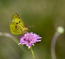 butterfly, near Lago Trasimeno, Umbria by Andrew Jones