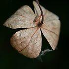 Hydrangea petiolaris leaf by InaLina
