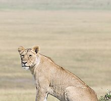 Lion in the Masai Mara by Henry Jager