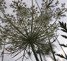 Queen Anne's Lace 2 by ArielLindus