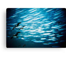 swimming with seagulls Canvas Print