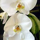 Lovely White Orchids by ange2