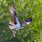 Osprey with Mudcat by Tom Talbott
