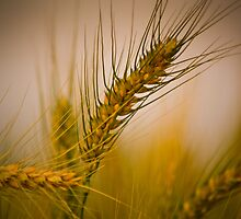 The Wheat by Sally Werner
