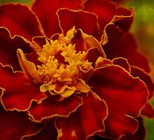 Velvety petals by Celeste Mookherjee