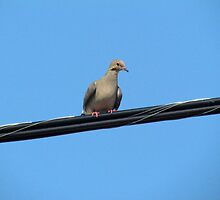 Dove On A Wire by Cynthia48