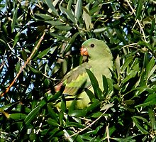 Regent Parrot by Rick Playle