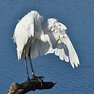 Fluffing His Feathers - Great Egret by Kathy Baccari