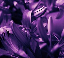 Lilies in Violet Limbo by Allison Imagining