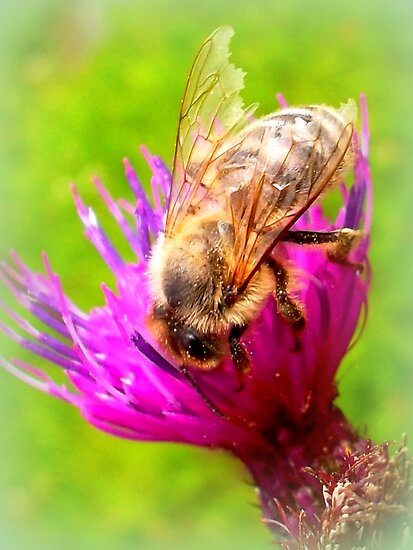 Frayed Bee on Thistle by ©The Creative  Minds