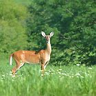 Doe in field of flowers by Ben Waggoner