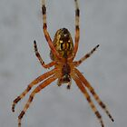Cross spider (Araneus diadematus) by InaLina